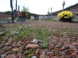 Enherbage des allées de cimetières